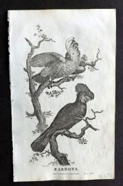 Goldsmith C1815 Antique Bird Print. Parrots